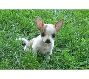 BreedName-Chihuahua