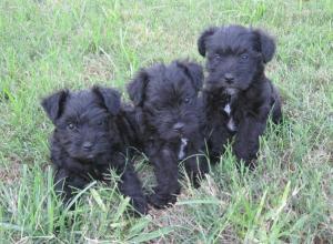 SchnauzerPuppies