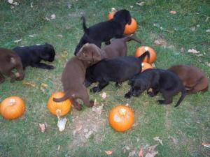 LabradorpuppiesAKCRegistered