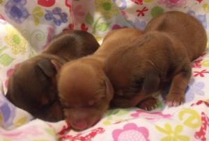 DachshundPuppies
