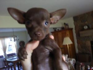 ChocolateFemaleChihuahuaPuppy