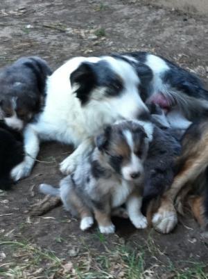 ABCABorderColliePuppies