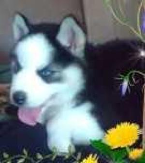 BeautifulSiberianHuskyPuppies