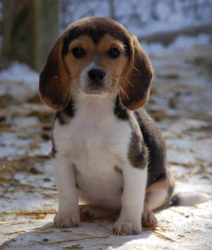 AKCBeaglePuppies