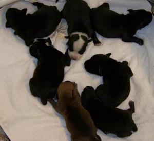 GuardstockStaffordshireBullTerrierPuppies