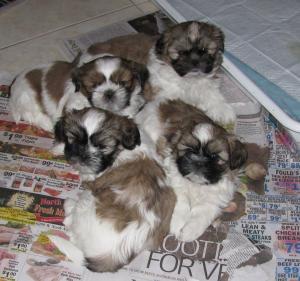 SHIHTZUPurebredPuppies