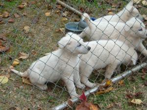 WhiteAKCGermanShepherdPuppies