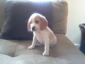 BeaglesPuppiesWallVaccinesFreeCrate