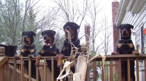 RottweillerPuppies