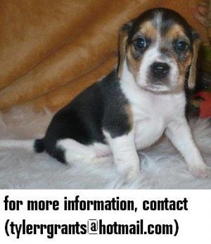 BeaglePuppiesAvailableforNewhomes
