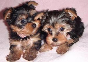 AdorableTeacupYorkiePuppies