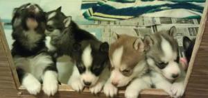 AKCSiberianHuskyPuppies