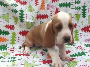 welltrainedbassethound