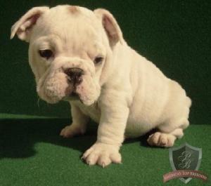 HouseBrokenEnglishBulldogPuppiesForAdoption