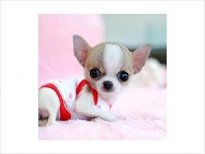 TinyToyChihuahuaPuppiesBoth-