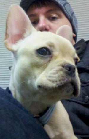 BlondeFrenchBulldogPup