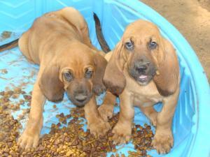 BloodhoundPuppiesforSale