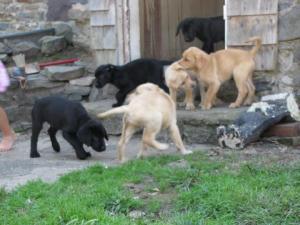 LabPuppies-