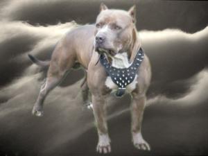 ADBARegisteredAmericanPitbullTerrierPuppies