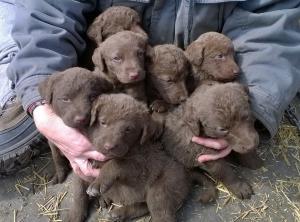 ChesapeakeBayRetrieverPuppies