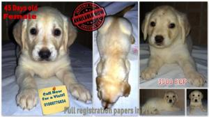 daysoldlabradorretrieverpuppies