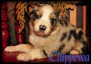 AussiePuppiesReadyChristmasDay
