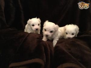 Maltesedogs