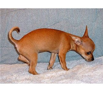 chihuahuapuppy