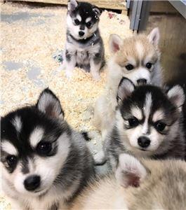 PomskyandSiberianHuskyPuppies-