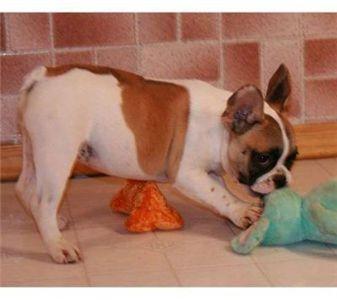 frenchbulldogpuppyforadoption