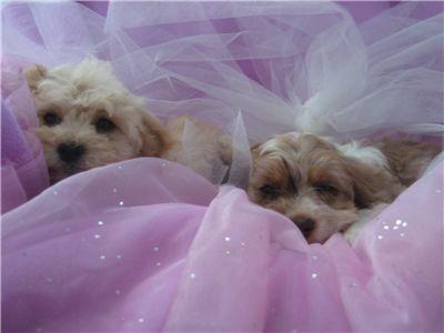 toysizepuppies