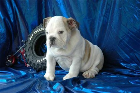 adorableweeksbulldogsbabiesforadoption