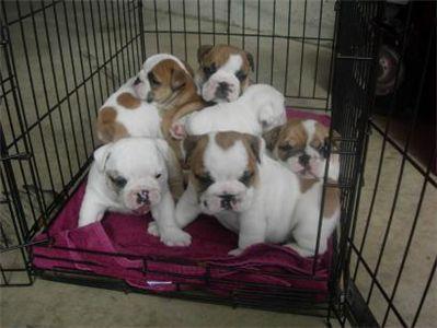 sweetbulldogsforsale