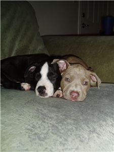 pitbullpuppies