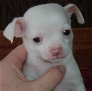 adorablechihuahuaforsale