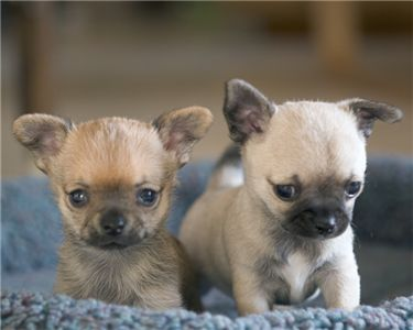 chihuahuaforsale