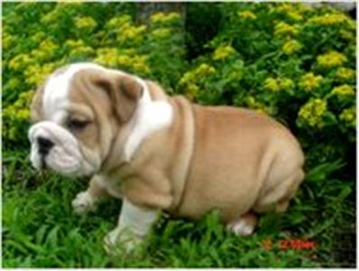 registeredenglishbulldogforadoption