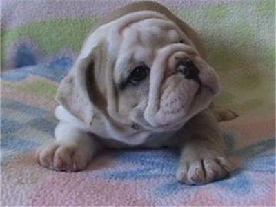 femaleenglishbulldogpuppyforadoption