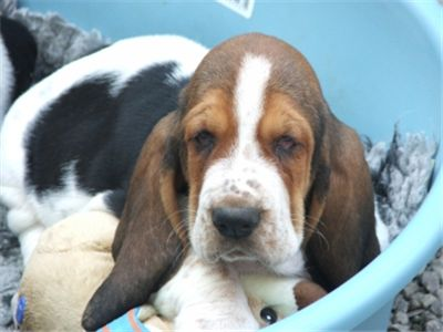 FCIBassetHoundPuppies