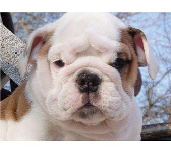 cuteandlovelybulldogspuppiesforsalee
